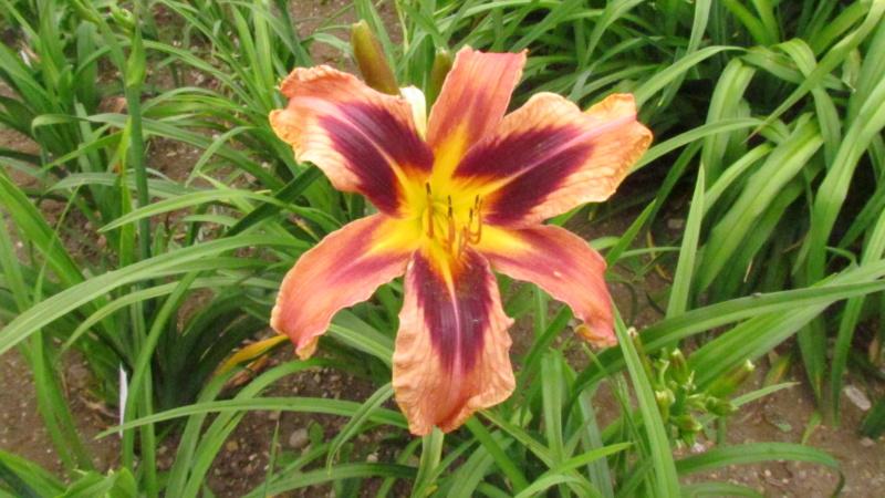 Mes hybrides: Semis 2016 à sélectionner - Page 4 16171-10