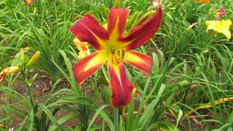 Mes hybrides: Semis 2016 à sélectionner - Page 4 16172-10