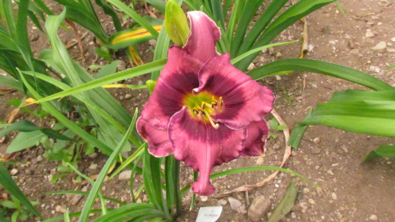 Mes hybrides: Semis 2016 à sélectionner - Page 4 16174-10