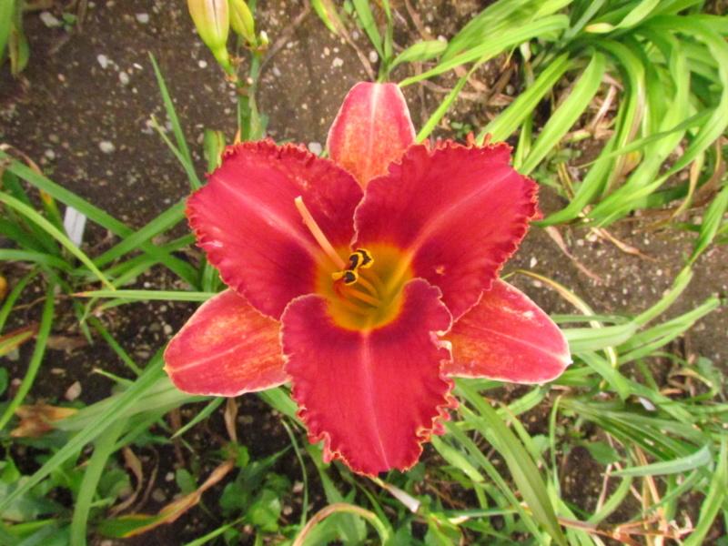 Mes hybrides: Semis 2016 à sélectionner - Page 4 16175-10