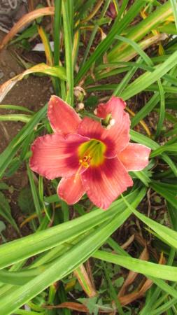 Mes hybrides: Semis 2016 à sélectionner - Page 4 16176-10