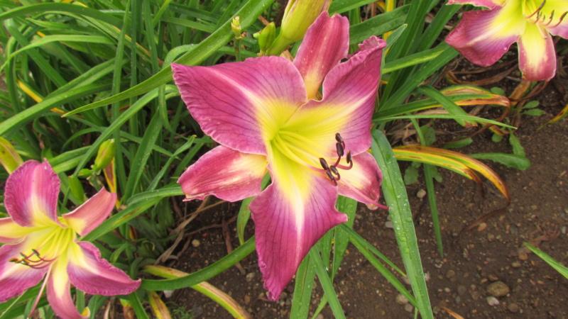 Mes hybrides: Semis 2016 à sélectionner - Page 4 16178-12