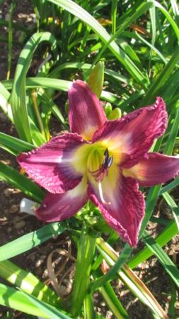 Mes hybrides: Semis 2016 à sélectionner - Page 4 16178-13