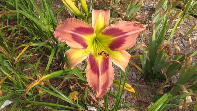 Mes hybrides: Semis 2016 à sélectionner - Page 4 16213-10