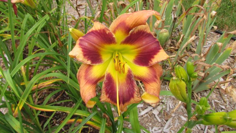 Mes hybrides: Semis 2016 à sélectionner - Page 4 16213-11