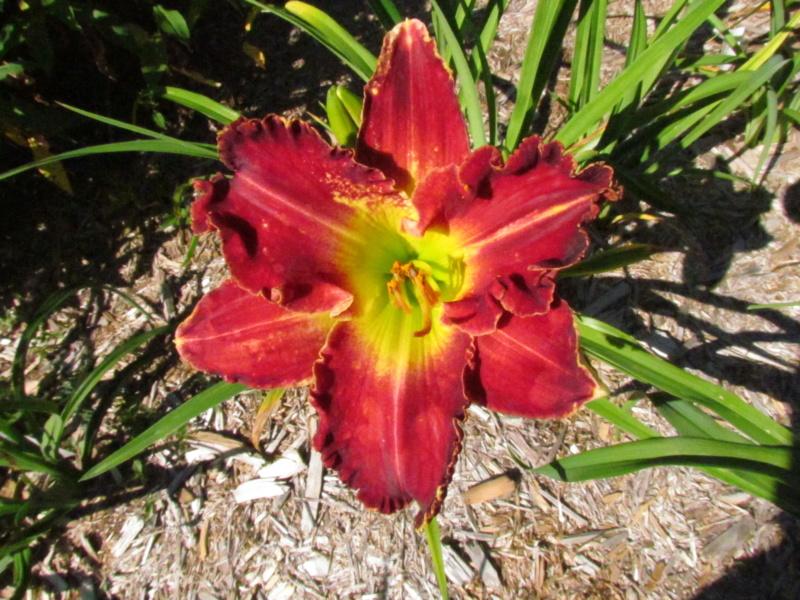 Mes hybrides: Semis 2016 à sélectionner - Page 7 16420-10