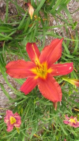 Mes hybrides: Semis 2016 à sélectionner - Page 7 16432-11