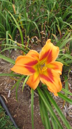 Mes hybrides: Semis 2016 à sélectionner - Page 7 16433-10