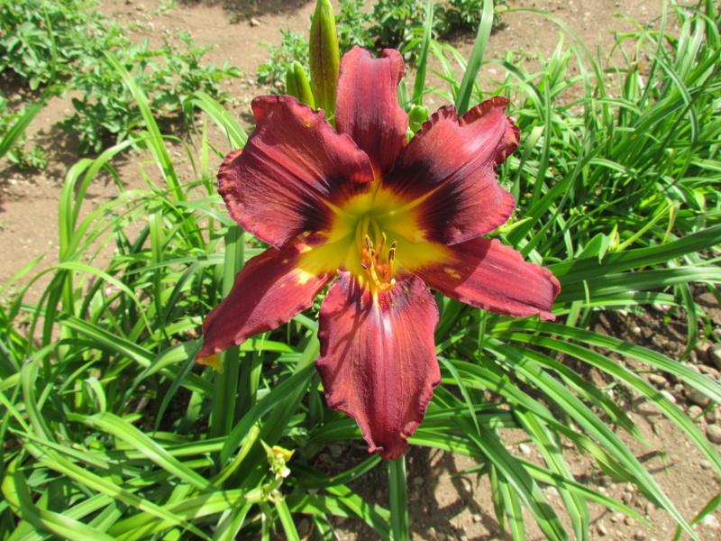 Mes hybrides: Semis 2016 à sélectionner - Page 7 16444-10