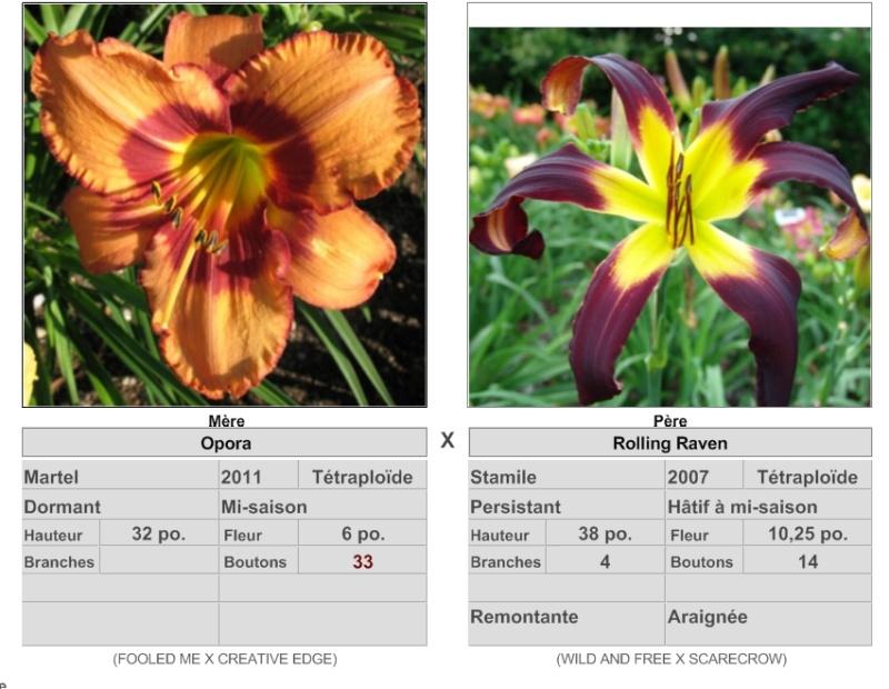 Mes hybrides: Semis 2016 à sélectionner - Page 7 16444_10