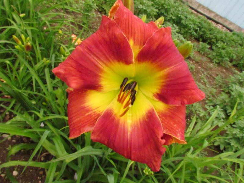 Mes hybrides: Semis 2016 à sélectionner - Page 7 16449-11