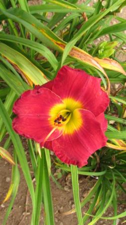 Mes hybrides: Semis 2016 à sélectionner - Page 7 16474-10