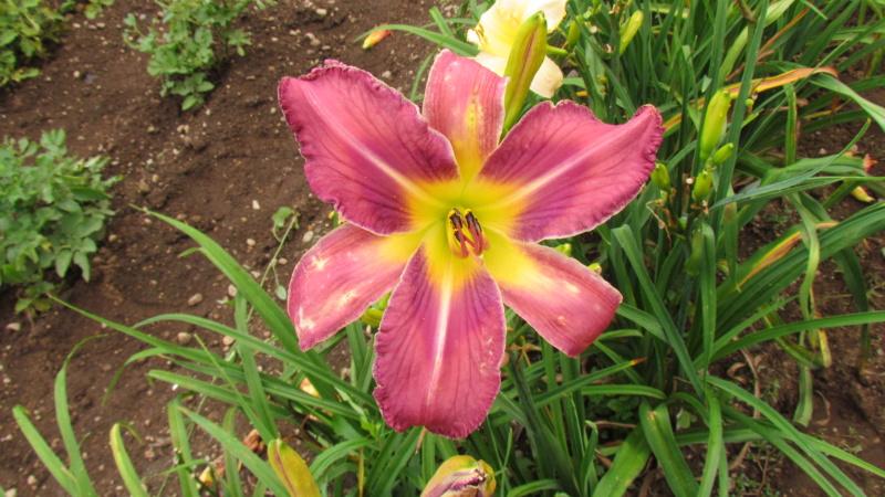 Mes hybrides: Semis 2016 à sélectionner - Page 7 16497-11