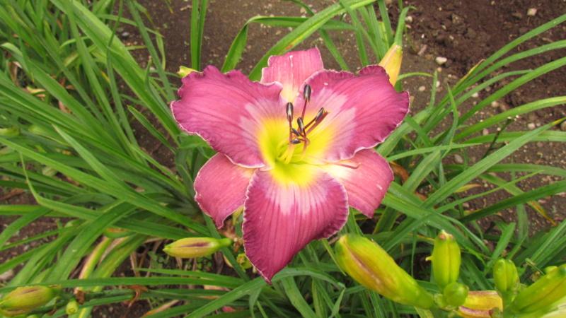 Mes hybrides: Semis 2016 à sélectionner - Page 7 16501-10