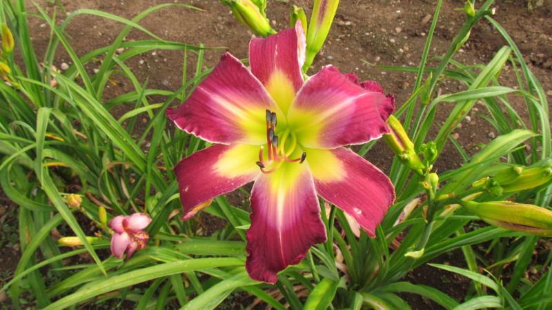 Mes hybrides: Semis 2016 à sélectionner - Page 7 16501-11