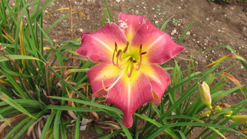 Mes hybrides: Semis 2016 à sélectionner - Page 7 16505-10