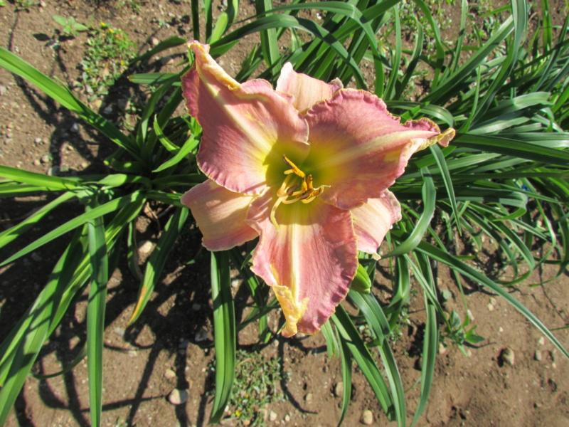 Mes hybrides: Semis 2016 à sélectionner - Page 7 16507-12