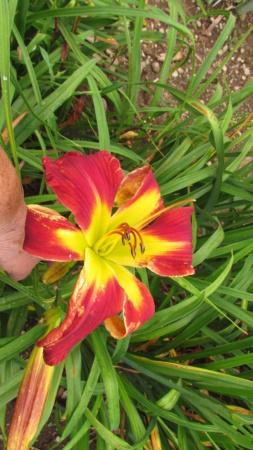 Mes hybrides: Semis 2016 à sélectionner - Page 7 16518-10