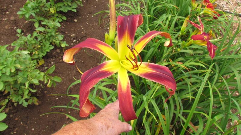 Mes hybrides: Semis 2016 à sélectionner - Page 7 16526-11