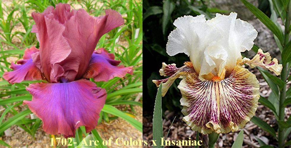 Résultats de mes hybridations d'Iris de 2011 à ... - Page 5 1702_a10