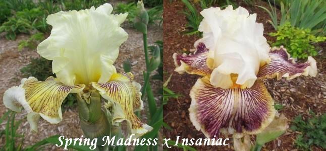 Résultats de mes hybridations d'Iris de 2011 à ... - Page 5 1801_s10