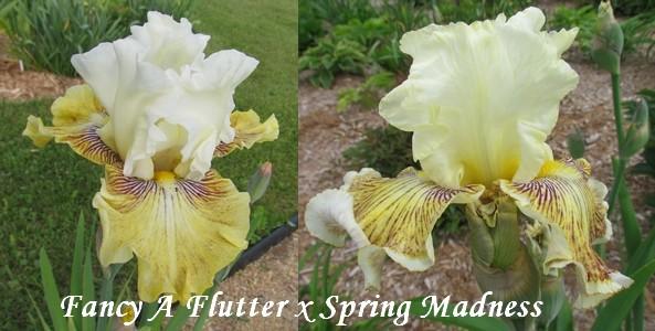 Résultats de mes hybridations d'Iris de 2011 à ... - Page 5 1803_f10
