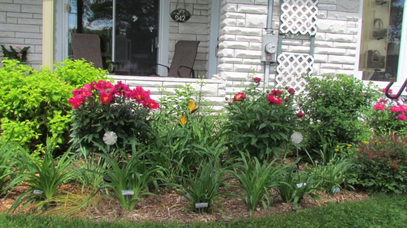 Les pivoines de mon jardin 24-06-11
