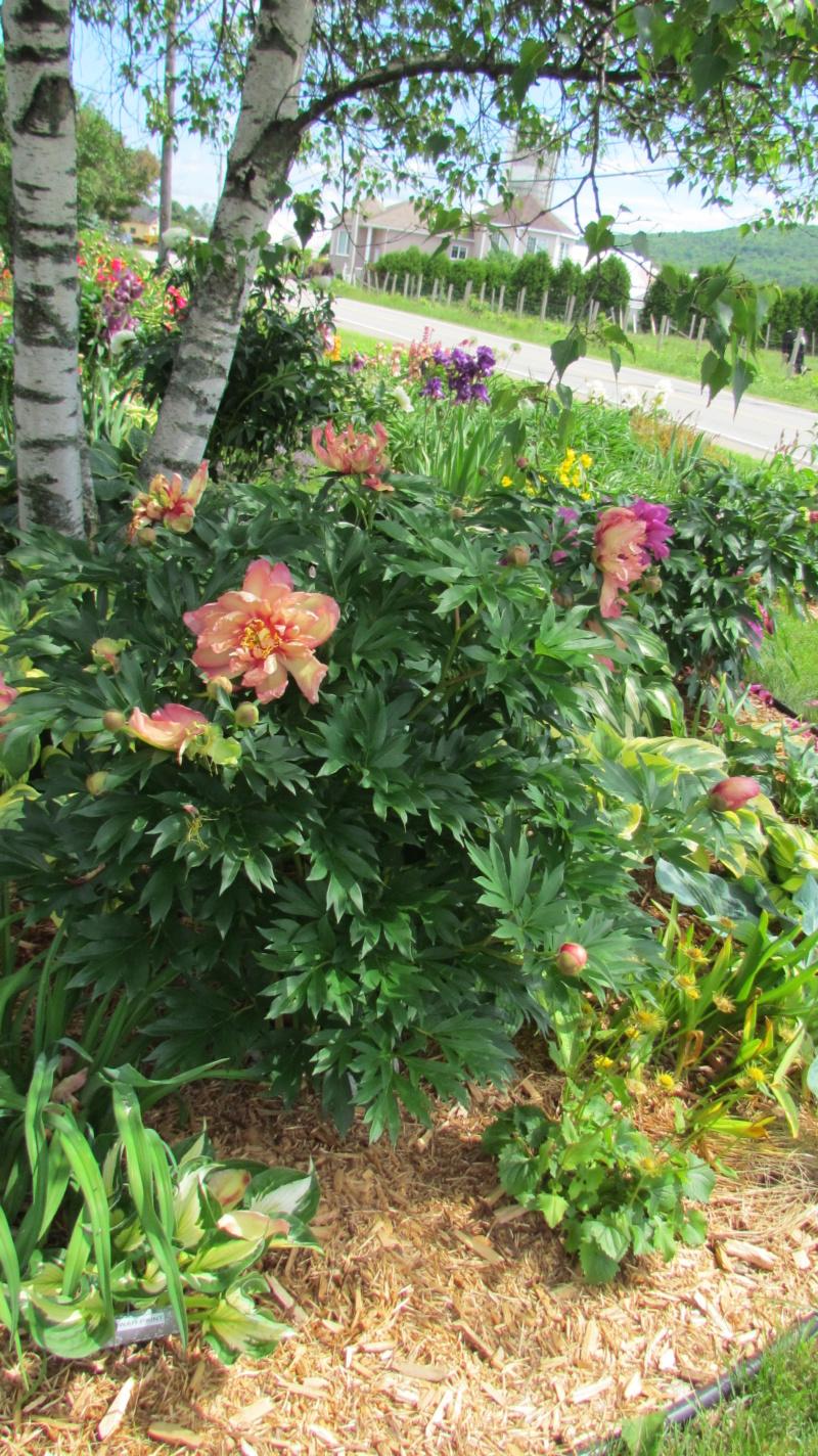 Les pivoines de mon jardin 24-06-12
