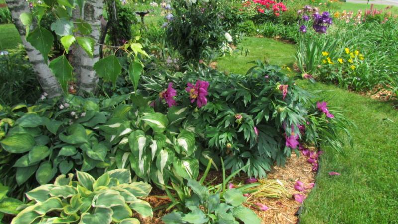 Les pivoines de mon jardin 24-06-13