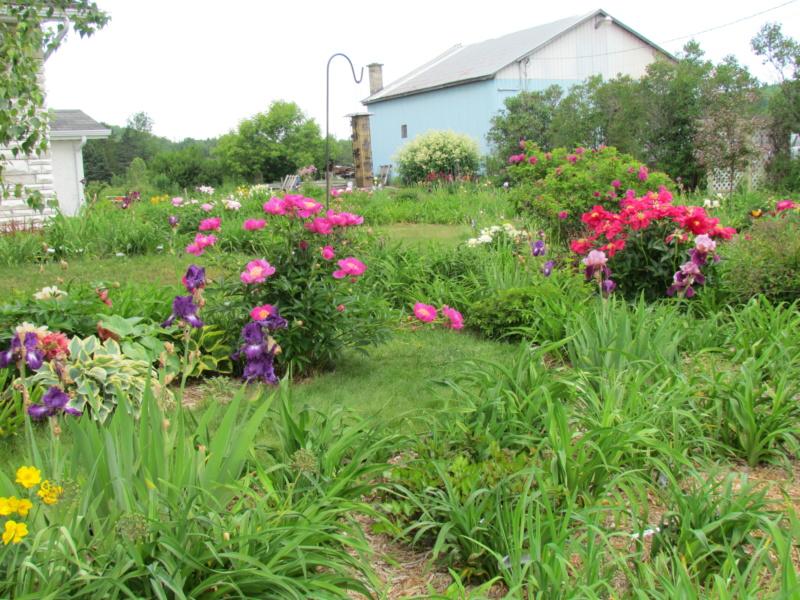 Les pivoines de mon jardin 29-06-10