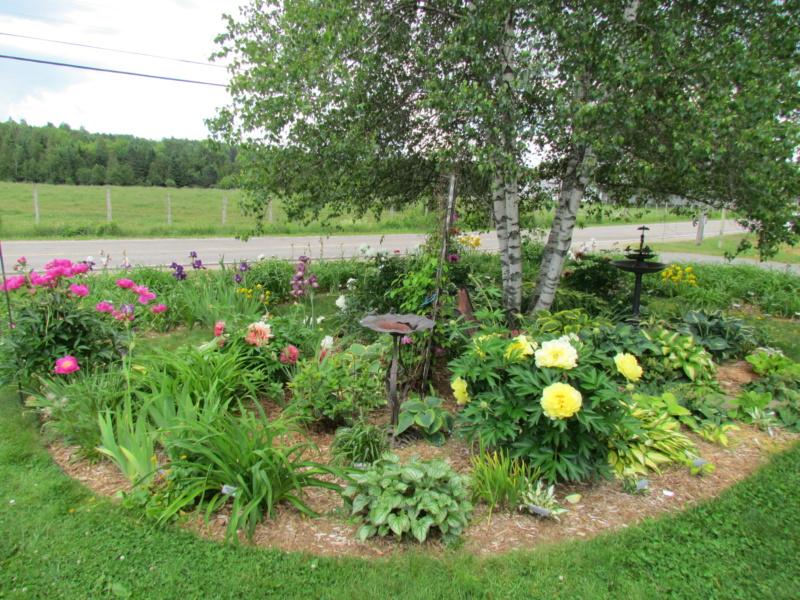 Les pivoines de mon jardin 29-06-12
