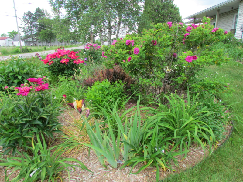 Les pivoines de mon jardin 29-06-13