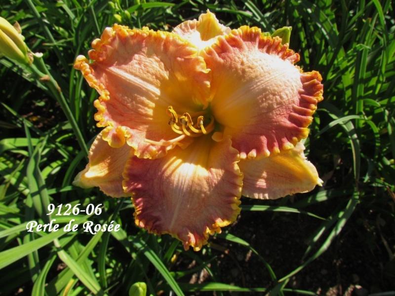 Mes hybrides: semis 2009 encore au jardin. 9126-011