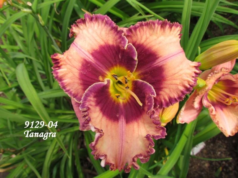 Mes hybrides: semis 2009 encore au jardin. 9129-011