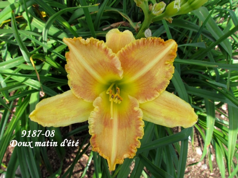 Mes hybrides: semis 2009 encore au jardin. 9187-010