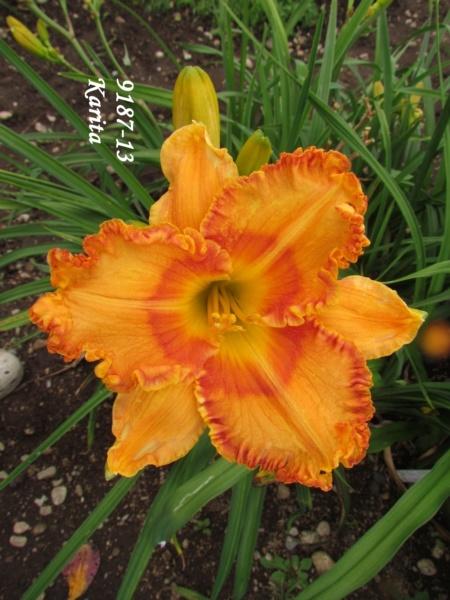 Mes hybrides: semis 2009 encore au jardin. 9187-111