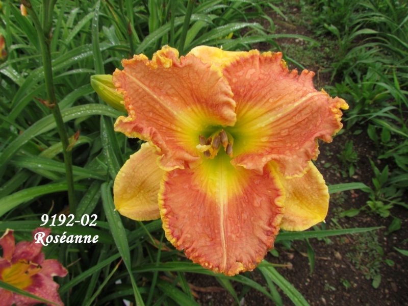 Mes hybrides: semis 2009 encore au jardin. 9192-011
