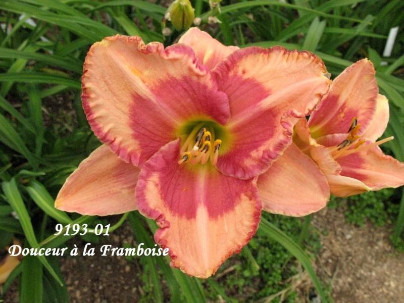 Mes hybrides: semis 2009 encore au jardin. 9193-010
