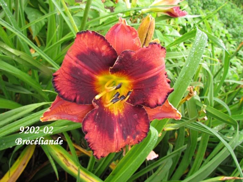 Mes hybrides: semis 2009 encore au jardin. 9202-010