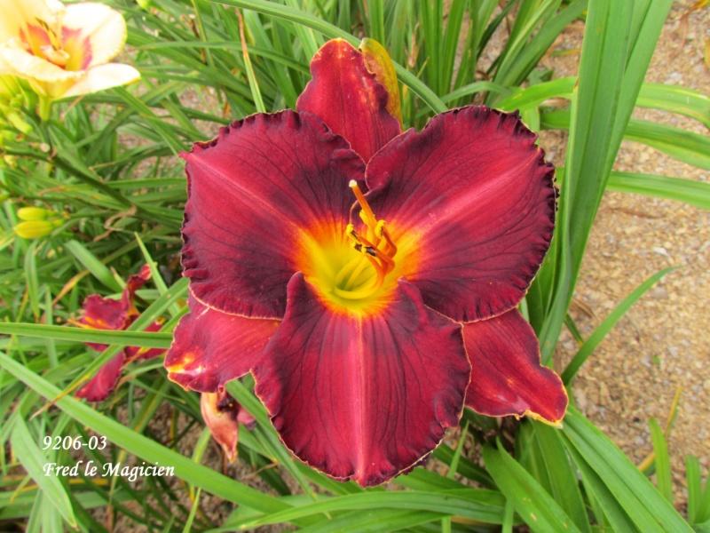 Mes hybrides: semis 2009 encore au jardin. 9206-012