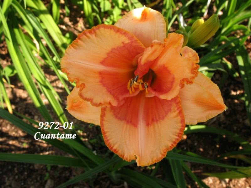 Mes hybrides: semis 2009 encore au jardin. 9272-010
