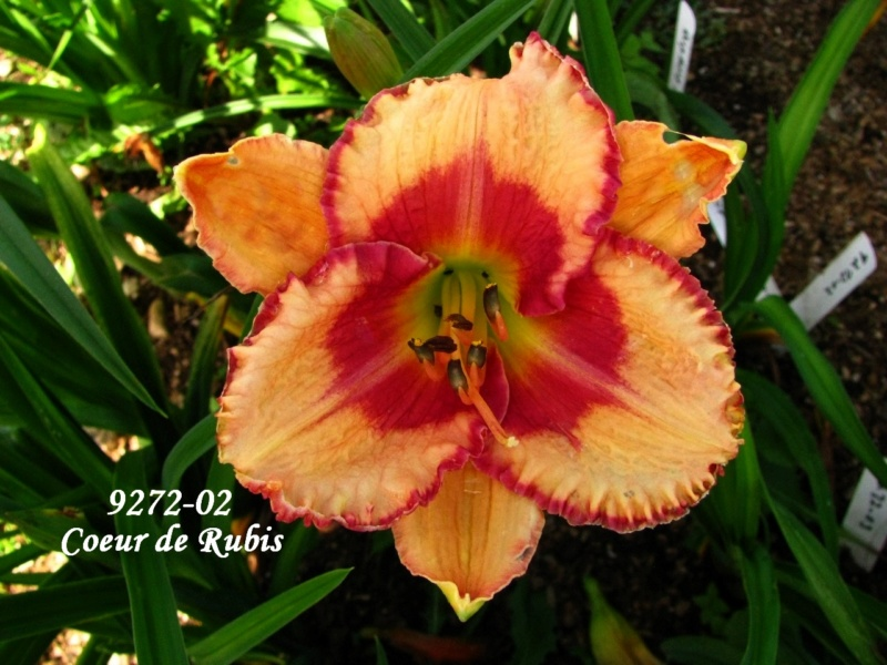 Mes hybrides: semis 2009 encore au jardin. 9272-011