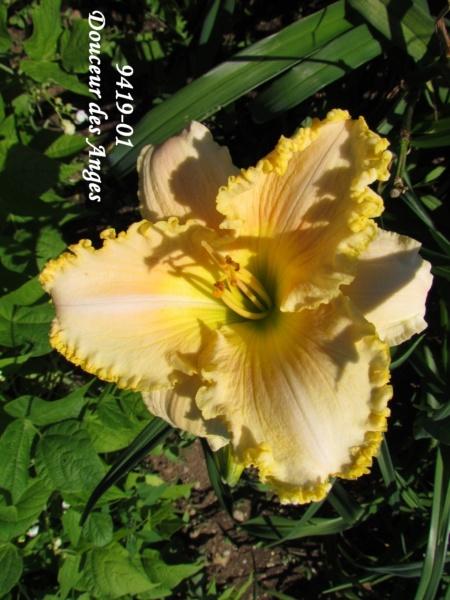 Mes hybrides: semis 2009 encore au jardin. 9419-010