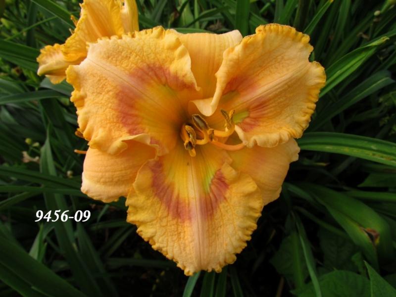 Mes hybrides: semis 2009 encore au jardin. 9456-010