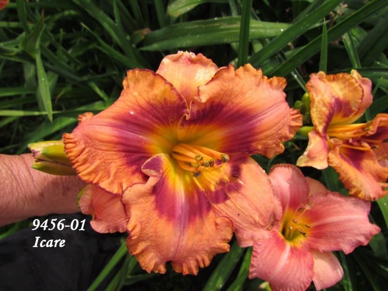 Mes hybrides: semis 2009 encore au jardin. 9456-011