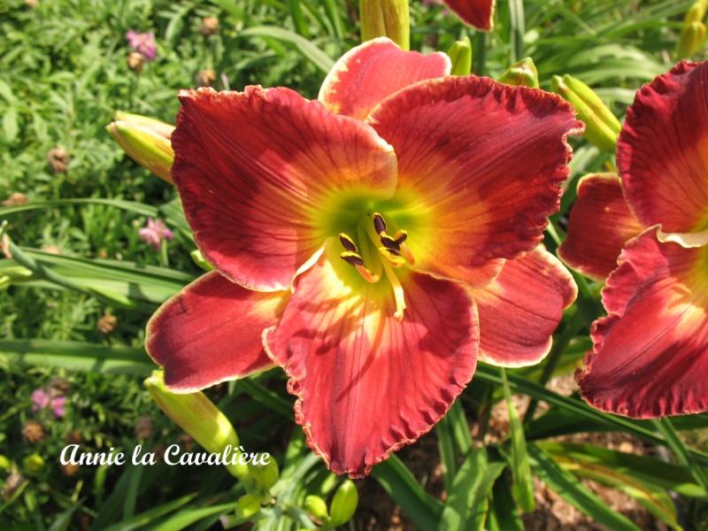 Les hémérocalles enregistrées de mon jardin - Page 3 Annie_10