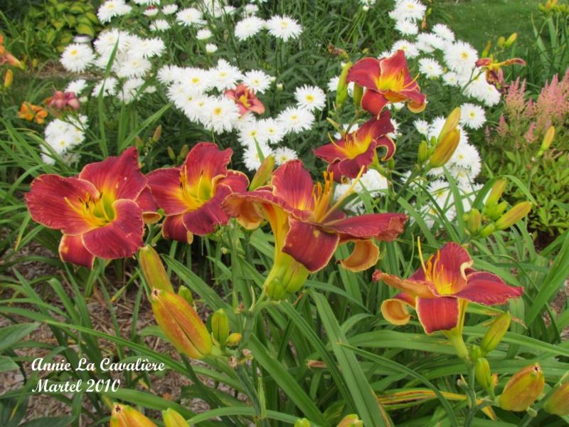 Les hémérocalles enregistrées de mon jardin - Page 3 Annie_12