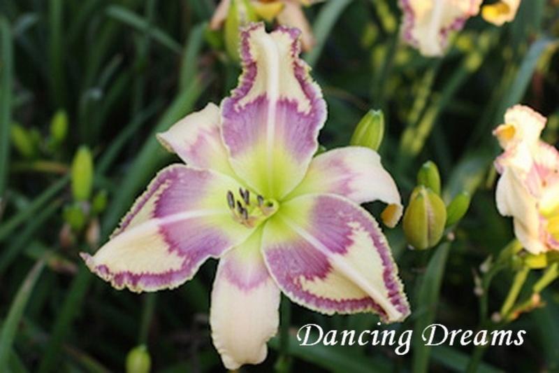 Les hémérocalles enregistrées de mon jardin - Page 2 Dancin10