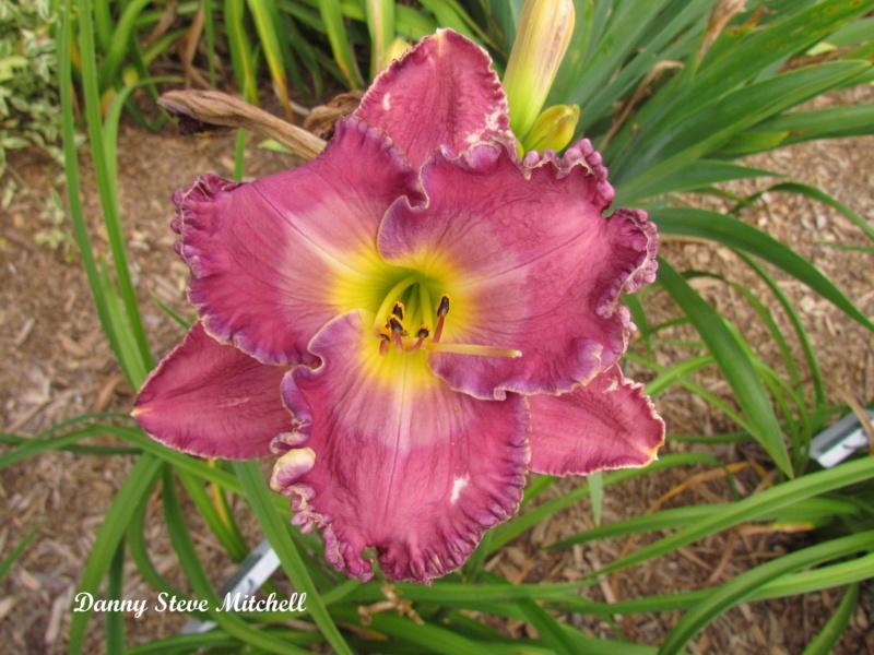 Les hémérocalles enregistrées de mon jardin - Page 2 Danny_10