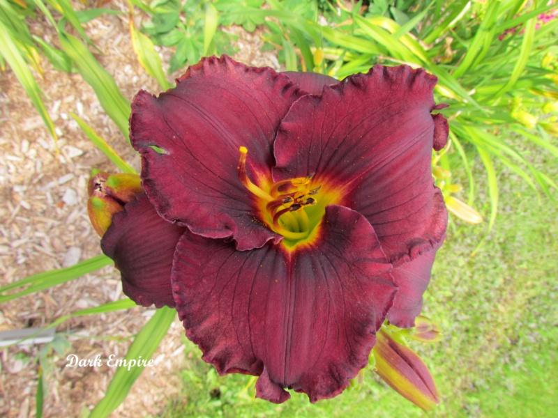 Les hémérocalles enregistrées de mon jardin - Page 2 Dark_e12